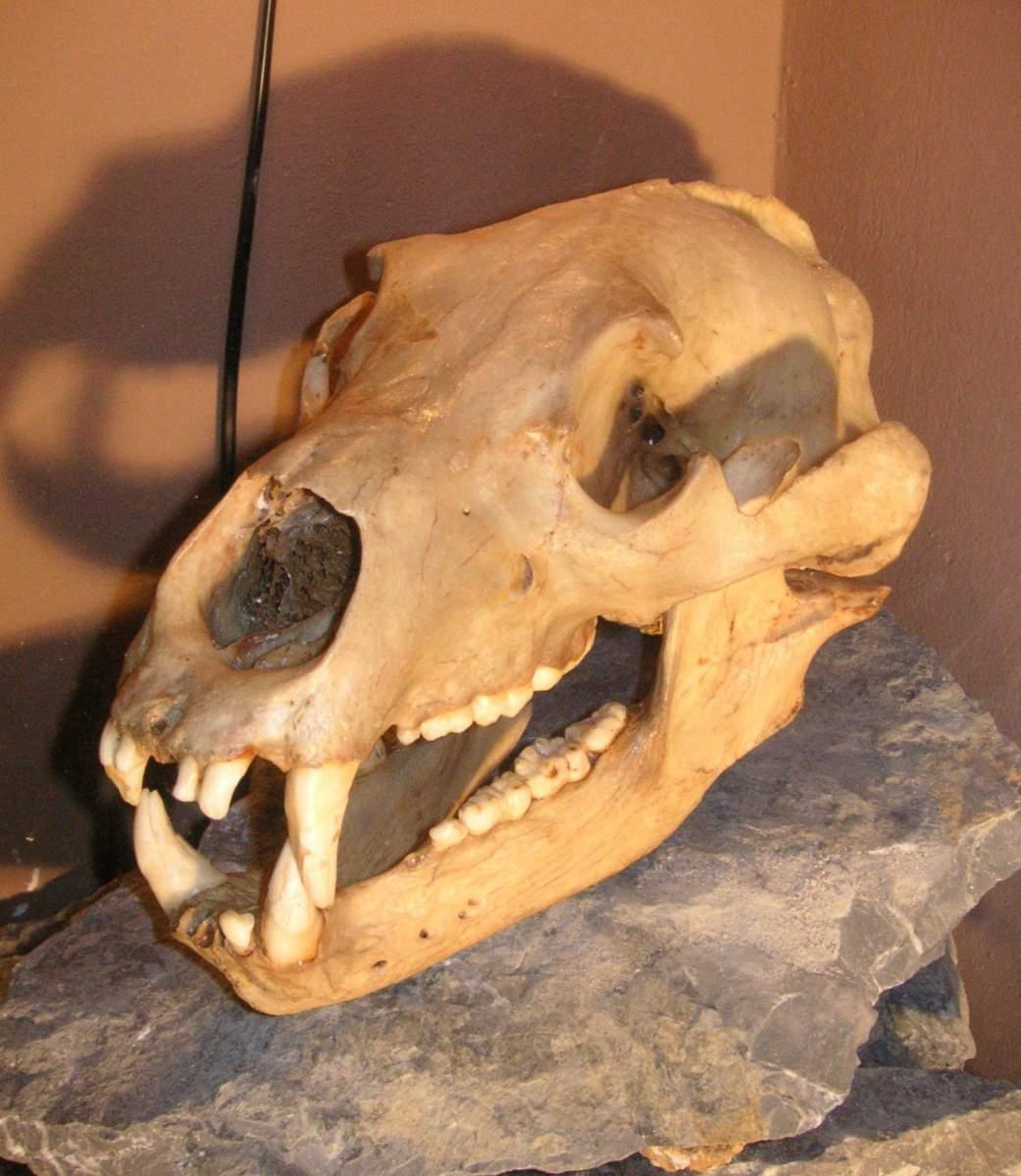alter Braunbärenschädel