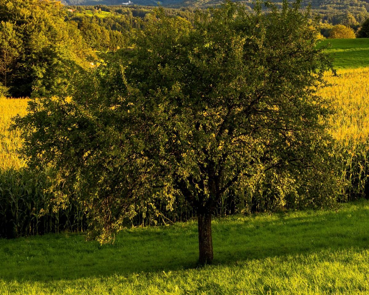 Herbstlicher Baum©Nitzsche